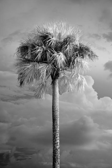 Solo Palm