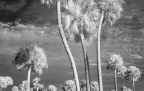 Lake Jesup Palms Infrared 1