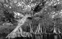 Lake Shore Cypress