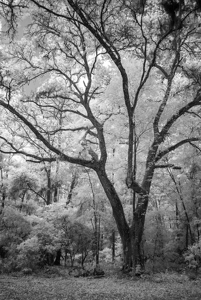 Withlacoochee Oak 2 Eric Clay Fine Art Photography