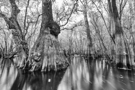 Ancients of the Suwannee River Valley 2